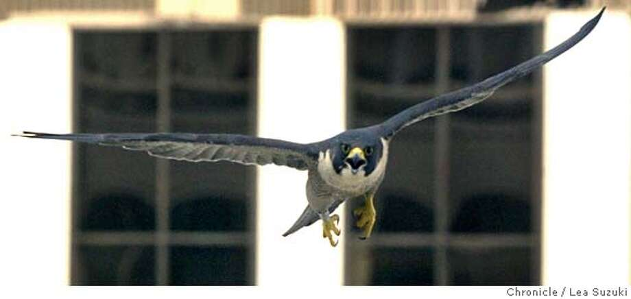 falcons_054_ls.jpg  One of the parent peregrines. Some scientists from the UC Santa Cruz Predatory Bird Research Group will be banding peregrine falcon nestlings at the PG&E skyscraper at 77 Beale, corner of Beale and Market, SF. Peregrines, once on the brink of extinction, are coming back well, and thriving particularly in cities, where there are plenty of scurvy pigeons to eat, and lots of building ledges to nest on--they like skyscrapers, since they resemble the cliffs they nest on in the wild. We anticipate the ma and pa peregrines are going to dive bomb the crap out of the scientists as they band the young  Photo taken on 05/10/04, in San Francisco, CA.  Photo By LEA SUZUKI / The San Francisco ChronicleRan on: 04-15-2006  Gracie -- or maybe George -- prowls the skies in downtown San Francisco foraging for food.  ASLO RAN 03-28-2007 Photo: LEA SUZUKI