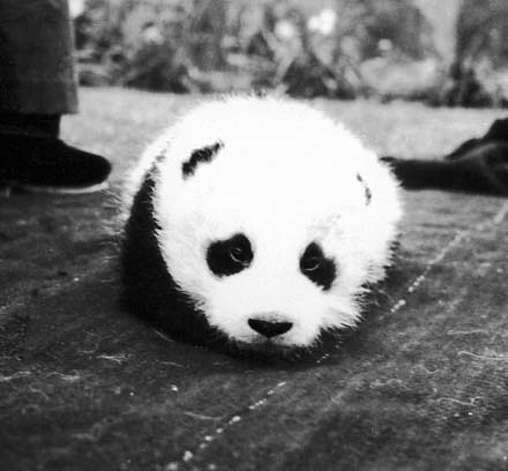 "Photo of Panda named 'Su-Lin"" after Adelaide 'Su-Lin"" Young. She and her husband Jack Young, and his brother Quentin, figure prominently in the 1930s expeditions to capture Giant Pandas for the US. She was the first American woman explorer to venture into the Tibetan-Himalayan area. Photo: Family Photo"