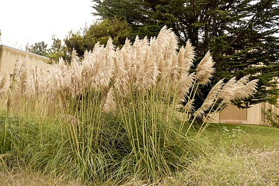 The wildland weed Jubata grass, one kind of pampas grass, is often found near human habitation, where fire would be extremely dangerous. Photo:  David Goldberg