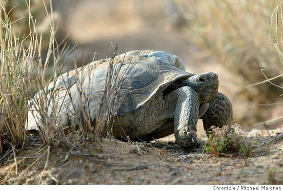 ###Live Caption:TURTLES4-C-23APR02-MN-MJM A desert tortoise with a tracking device glued to it's shell. Biologists are braving the desert heat in the Mojave Desert, counting the dwindling desert toroise population. CHRONICLE PHOTO BY MICHAEL MALONEY###Caption History:TURTLES4-C-23APR02-MN-MJM A desert tortoise with a tracking device glued to it's shell. Biologists are braving the desert heat in the Mojave Desert, counting the dwindling desert toroise population. CHRONICLE PHOTO BY MICHAEL MALONEY Ran on: 07-08-2007 Desert tortoises like this one, a threatened species, are being moved because the Army is expanding Fort Irwin in the Mojave Desert. Ran on: 04-18-2008 Desert tortoises have been relocated by the Army to another part of the Mojave Desert to make room for training grounds. Ran on: 04-18-2008 Desert tortoises have been relocated by the Army to another part of the Mojave Desert to make room for training grounds. Environmentalists are protesting. Ran on: 04-18-2008 Desert tortoises have been relocated by the Army to another part of the Mojave Desert to make room for training grounds. Ran on: 04-18-2008 Desert tortoises have been relocated by the Army to another part of the Mojave Desert.###Notes:###Special Instructions: