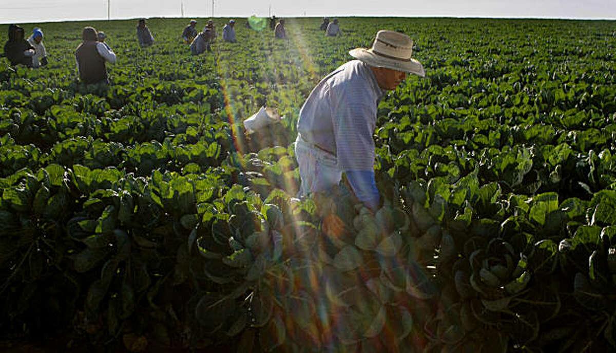 Rosalino Mojico works in a brussels sprout field in Watsonville.