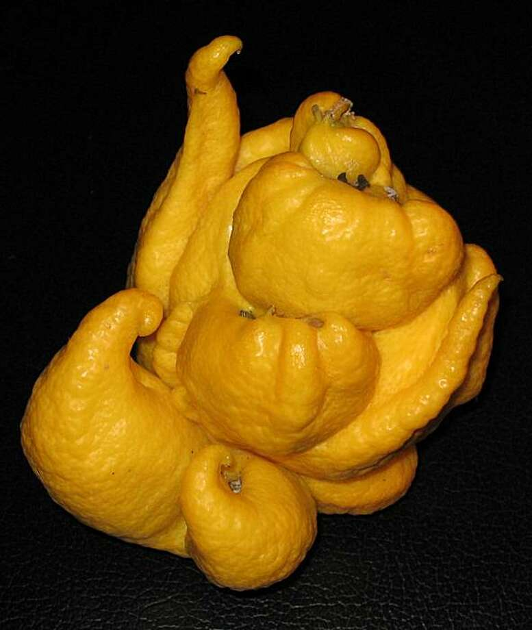 Space monsters instead of lemons? It's the work of the dread citrus bud mite. Photo: Dagmar Zidek