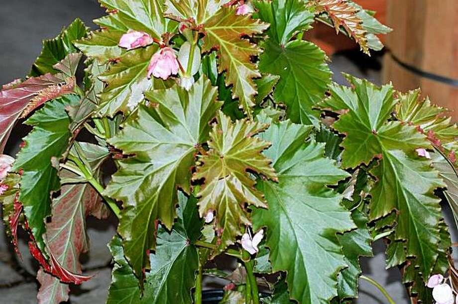 Begonia, 'Irene Nuss' Photo: Erle Nickel