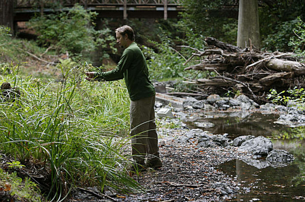 Chris Pincetich, watershed biologist for the Salmon Protection and Watershed Network (SPAWN) picks berries along a section of San Geronimo Creek in Lagunitas, Calif., on Thursday, Oct. 8, 2009 where he monitored the coho salmon migration for a recent study.