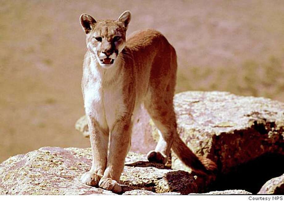Mountain lions have spots as kittens. The residual spots on this lion indicate that it is a yearling, a just fledged teenager, the age of mountain lion that most often comes in contact with humans. Photo: Courtesy NPS
