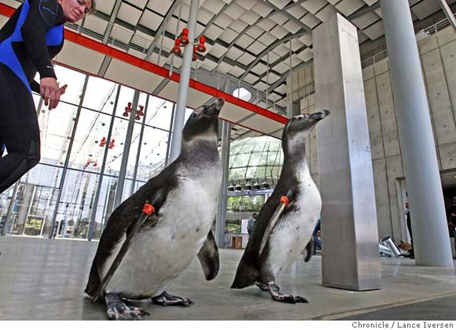 ###Live Caption:The California Academy of Sciences Senior Aquatic Biologist Pamela Schaller walks through the main lobby of the new Academy Of Science Building in Golden Gate Park, with Pete and Dunker, two African Penguins who got to see their new 25,000-gallon exhibit tank for the first time Tuesday May 6, 2008. Photographed in San Francisco, Calif. Photo By Lance Iversen / San Francisco Chronicle###Caption History:The California Academy of Sciences Senior Aquatic Biologist Pamela Schaller walks through the main lobby of the new Academy Of Science Building in Golden Gate Park, with Pete and Dunker, two African Penguins who got to see their new 25,000-gallon exhibit tank for the first time Tuesday May 6, 2008. Photographed in San Francisco, Calif. Photo By Lance Iversen / San Francisco Chronicle###Notes:Lance Iversen 415-2979395  CQ Schaller###Special Instructions:MANDATORY CREDIT PHOTOG AND SAN FRANCISCO CHRONICLE. Photo: LANCE IVERSEN
