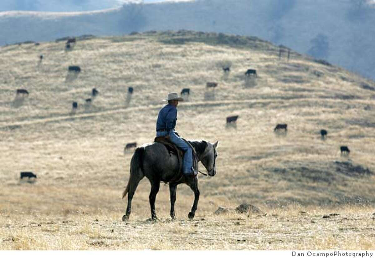 RUSTLING2.jpg John Lacey (cq), a partner of Centennial Livestock, checks on range cattle on part of the Tejon Ranch near Arvin, California on Thursday, December 6, 2007. RUSTLING story. By DAN OCAMPO/DAN OCAMPO PHOTOGRAPHY/SPECIAL TO THE CHRONICLE Ran on: 12-16-2007 John Lacey, a partner of Centennial Livestock, checks on cattle on part of the Tejon Ranch near Arvin (Kern County). After gradually decreasing until 2002, rustling has been going up. Ran on: 12-15-2007 Ran on: 05-09-2008 The Golden Hills region of the Tejon Ranch is shown in this photo. The ranch is eight times the area of San Francisco.