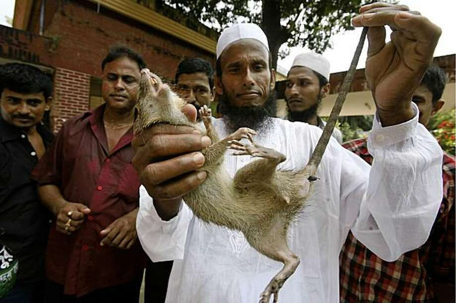 Prize winner Kari Mohmmad Fazlul Haque, shows a rat he caught at an annual prize giving ceremony on the first day of a month long rat killing campaign in Dhaka, Bangladesh, Wednesday, Sept. 30, 2009. Bangladesh on Wednesday awarded a farmer who killed more than 83,000 rats and launched a month long campaign nationwide to kill millions more, to protect crops and reduce the need for food imports.(AP Photo/ Pavel Rahman) Photo: Pavel Rahman, Associated Press
