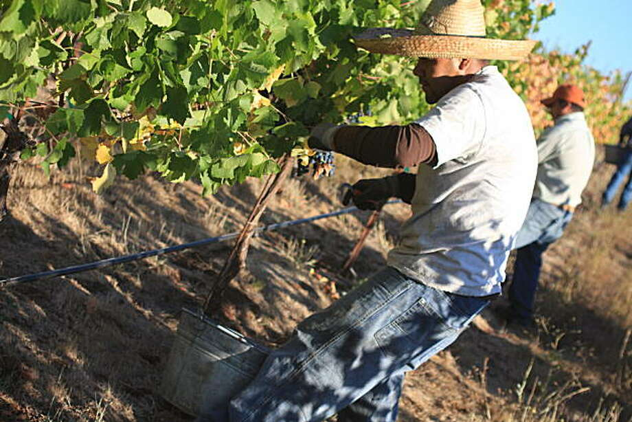 A harvest worker picks Syrah from the SunHawk vineyard outside Hopland (Mendocino County). For more on this wine, go to: sfgate.com/blogs/thecellarist/ Photo: Jon Bonne, The Chronicle