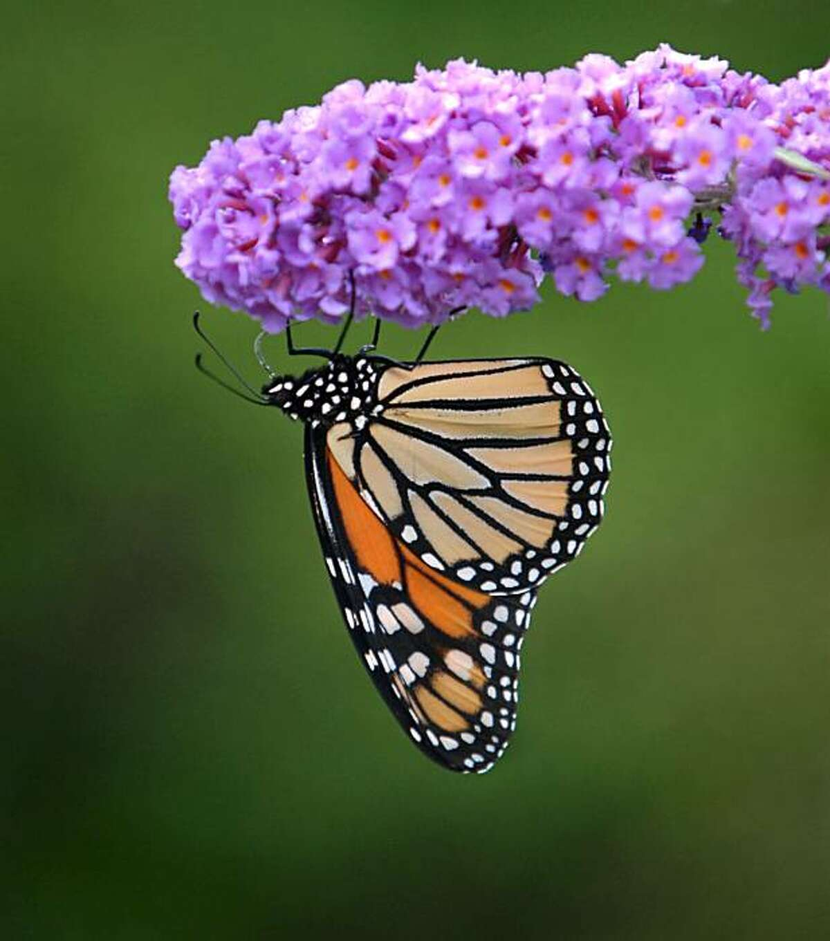 A Monarch butterfly extracts nectar from the blooms of a butterfly bush in Akron, Pa Friday, Sept. 18, 2009. The Monarch migration south usually begins in August and continues until the first frost in North America. (AP Photo/Intelligencer Journal, Dan Marschka)