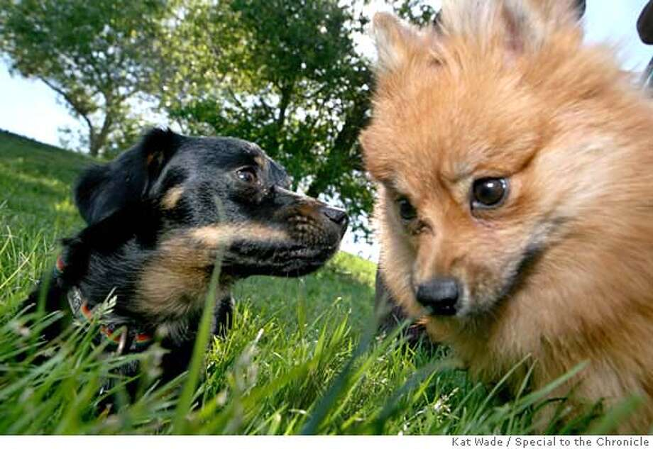 ###Live Caption:Mishki, thought to be a chi hua hua/datsun mix and Lulu, a pomeranian play together off leash in Point Isabel Regional Shoreline Park in Richmond, Calif. on Monday, April 28, 2008.  Photo by Kat Wade / Special to the Chronicle###Caption History:Mishki, thought to be a chi hua hua/datsun mix and Lulu, a pomeranian and play together off leash in Point Isabel Regional Shoreline Park in Richmond, Calif. on Monday, April 28, 2008.  Photo by Kat Wade / Special to the Chronicle###Notes:###Special Instructions:Mandatory Credit for photographer and S.F. CHRONICLE/No Sales - mags out Photo: Kat Wade