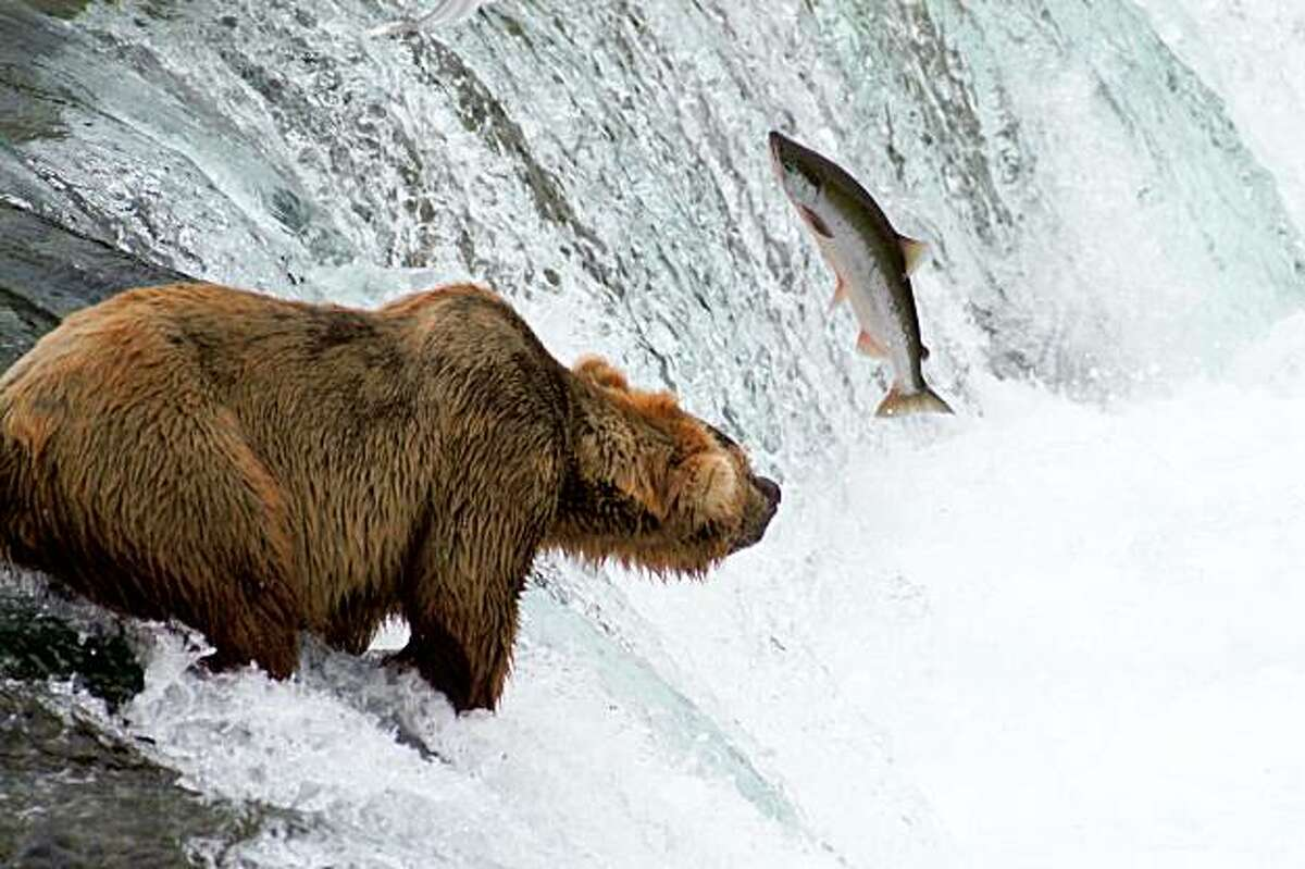 In this July 7, 2006 TV publicity image released by Florentine Films and WETA, a Grizzly bear fishes for salmon at Brooks Falls, Katmai National Park and Preserve in Alaska is shown as part of a Ken Burns six-part documentary series,