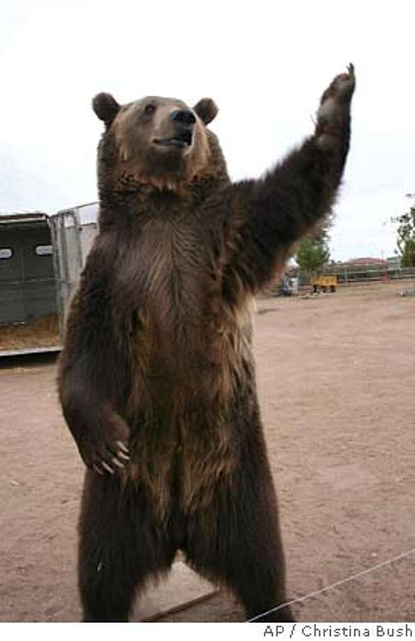 ###Live Caption:Rocky the grizzly bear is seen at the Forever Wild animal sanctuary in Phelan, Calif. in Nov. 2007. The grizzly bear which appeared in a recent Will Ferrell movie killed a 39-year-old trainer with a bite to his neck Tuesday April 22, 2008 and had to be subdued with pepper spray. Three experienced handlers were working with the bear at Randy Miller's Predators in Action facility when the bear bit 39-year-old Stephan Miller on the neck, said San Bernardino County sheriff's spokeswoman Cindy Beavers. (AP Photo/Christina Bush)###Caption History:Rocky the grizzly bear is seen at the Forever Wild animal sanctuary in Phelan, Calif. in Nov. 2007. The grizzly bear which appeared in a recent Will Ferrell movie killed a 39-year-old trainer with a bite to his neck Tuesday April 22, 2008 and had to be subdued with pepper spray. Three experienced handlers were working with the bear at Randy Miller's Predators in Action facility when the bear bit 39-year-old Stephan Miller on the neck, said San Bernardino County sheriff's spokeswoman Cindy Beavers. (AP Photo/Christina Bush)###Notes:Rocky the Bear###Special Instructions: Photo: Christina Bush