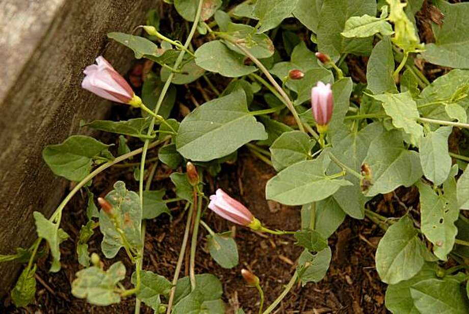 Bindweed's flowers, with their pink-striped undersides, are pretty, but the weed is very difficult to get rid of.   Bindweed can twine its stems around garden plants, killing them. Photo: Pam Peirce