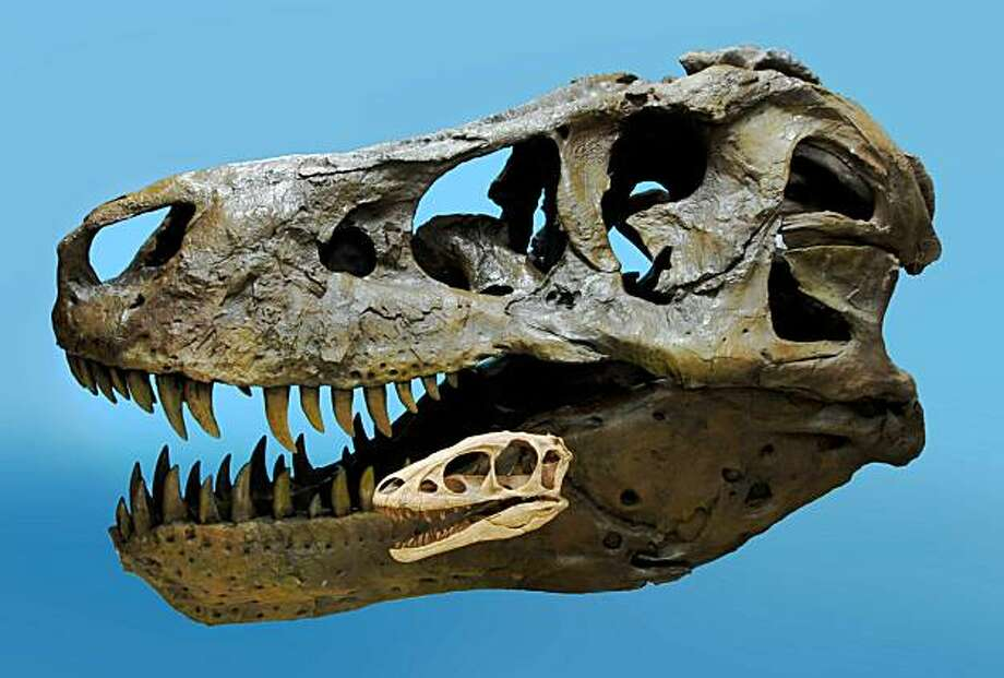 """This image released by the American Association for the Advancement of Science (AAAS) on September 17, 2009, shows the skull of Raptorex dwarfed by the skull of """"Sue,"""" the famous adult T. rex at the Field Museum in Chicago. The relatively tiny new ancestor of the Tyrannosaurus rex was unearthed in China, researchers said September 17, 2009. The three-meter-long (10-foot-long) dinosaur dubbed the Raptorex only weighed about 60 kilograms (150 pounds) and was nearly 100 times smaller than the king of the dinosaurs. But it was nearly identical in structure -- even down to the scrawny arms -- and had all of the traits which made T. Rex such a successful predator, said lead author Paul Sereno, a paleontologist with the University of Chicago. Photo: Paul Sereno, University Of Chicago"""