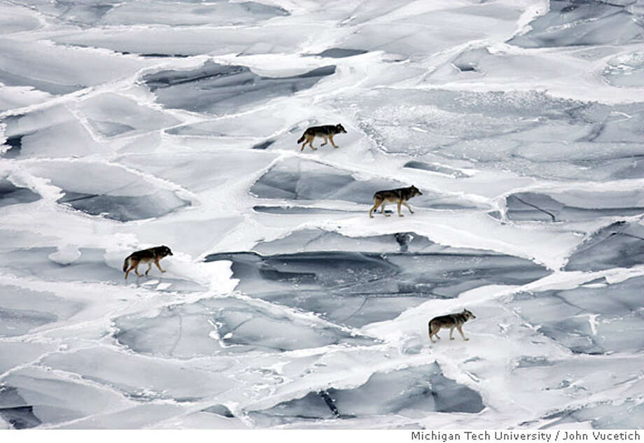 **ADVANCE FOR SUNDAY, APRIL 20** In this photo provided by Michigan Tech University, wolves in the Middle Pack, which is one of four wolf packs on Isle Royale are seen walking across the frozen shallows of Lake Superior near the shoreline, on Isle Royale on Jan. 31, 2008. (AP Photo/Michigan Tech University, John Vucetich) Photo: John Vucetich