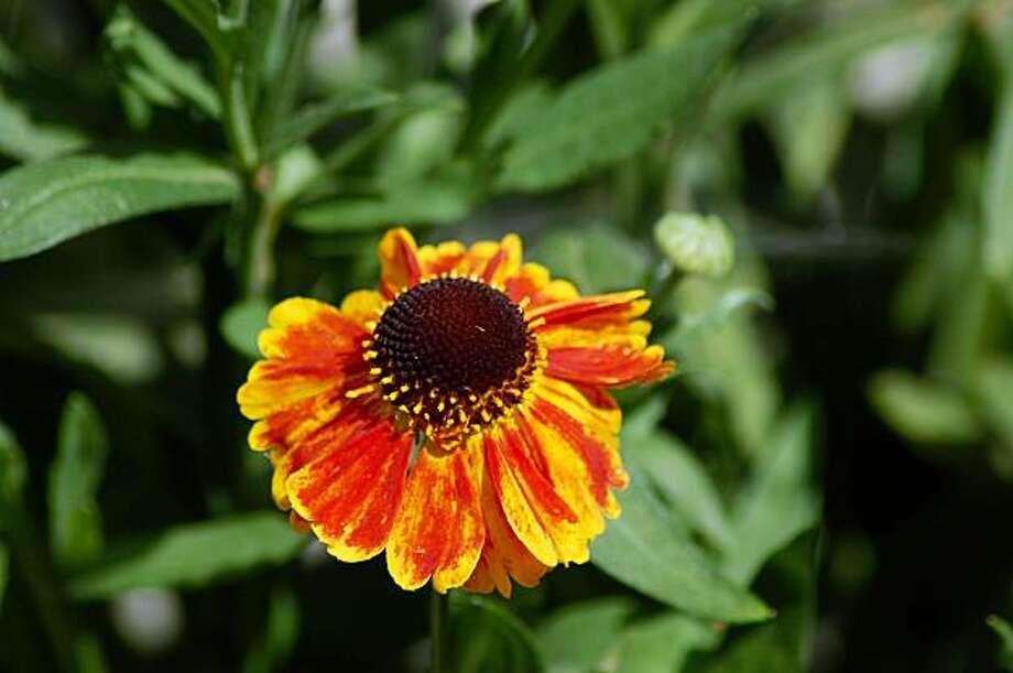 Helenium autumnale Photo: Erle Nickel
