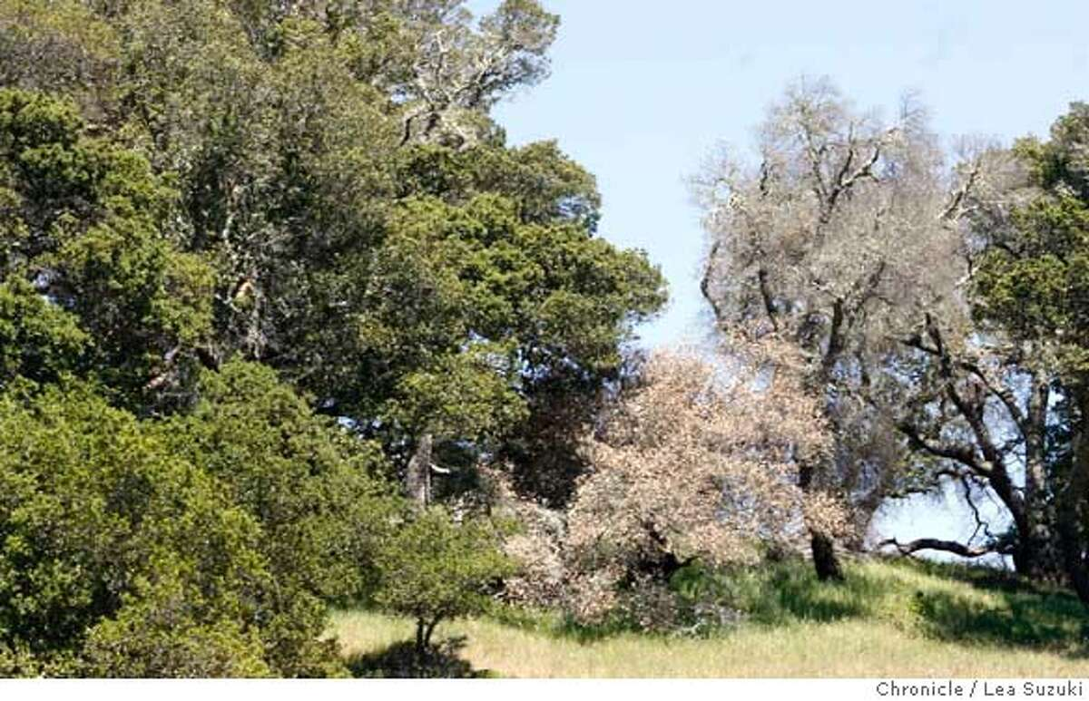 ###Live Caption:Oak trees on Mt. Tam some of which are dead and/or dying on Mt.Tam near San Anselmo, Calif. on Wednesday, April 16 2008. UC Berkeley Professor Matteo Garbelotto, who has been studying Sudden Oak for a decade, has pinpointed where it started in the wild -- Mt. Tam and Santa Cruz. Photo By Lea Suzuki/ San Francisco Chronicle###Caption History:Oak trees on Mt. Tam some of which are dead and/or dying on Mt.Tam near San Anselmo, Calif. on Wednesday, April 16 2008. UC Berkeley Professor Matteo Garbelotto, who has been studying Sudden Oak for a decade, has pinpointed where it started in the wild -- Mt. Tam and Santa Cruz. Photo By Lea Suzuki/ San Francisco Chronicle###Notes:###Special Instructions:�2008, San Francisco Chronicle/ Lea Suzuki MANDATORY CREDIT FOR PHOTOG AND SAN FRANCISCO CHRONICLE. NO SALES- MAGS OUT.