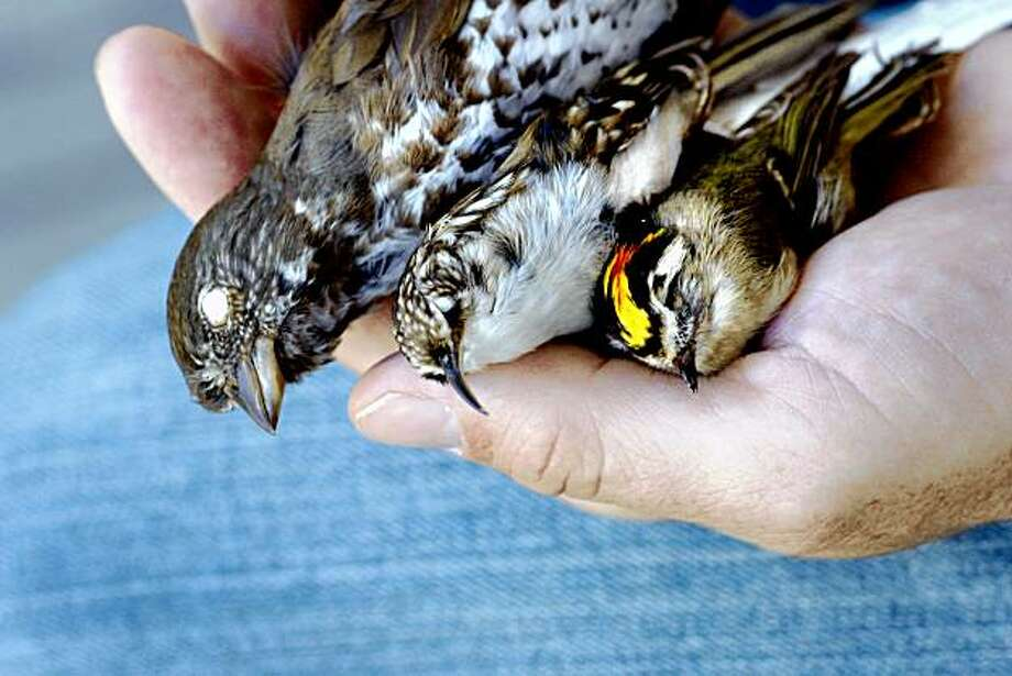 Three of the bird species studies in the PRBO report whose habitat will change include the fox sparrow (left) brown creeper (center) and golden crowned kinglet. The Point Reyes Bird Observatory has the greatest avian diversity in the whole United States. Photo: Brant Ward, The Chronicle