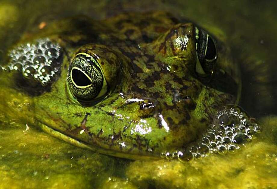 A frog tries to evade detection by blending in among the lily pads that dot a pond located on the Spring River Golf Course in Roswell, N.M. Thursday morning, Aug. 13, 2009.  (AP Photo/Roswell Daily Record  Mark Wilson) Photo: Mark Wilson, AP