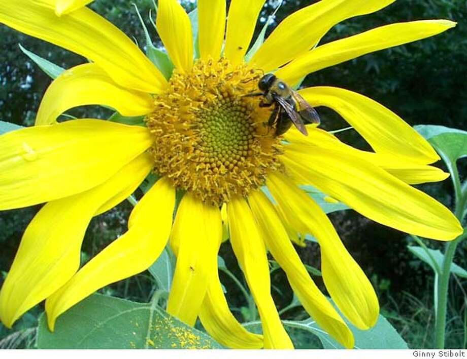 ###Live Caption:a carpenter bee (Xylocopa spp.) on a sunflower.###Caption History:a carpenter bee (Xylocopa spp.) on a sunflower.###Notes:###Special Instructions: Photo: Ginny Stibolt