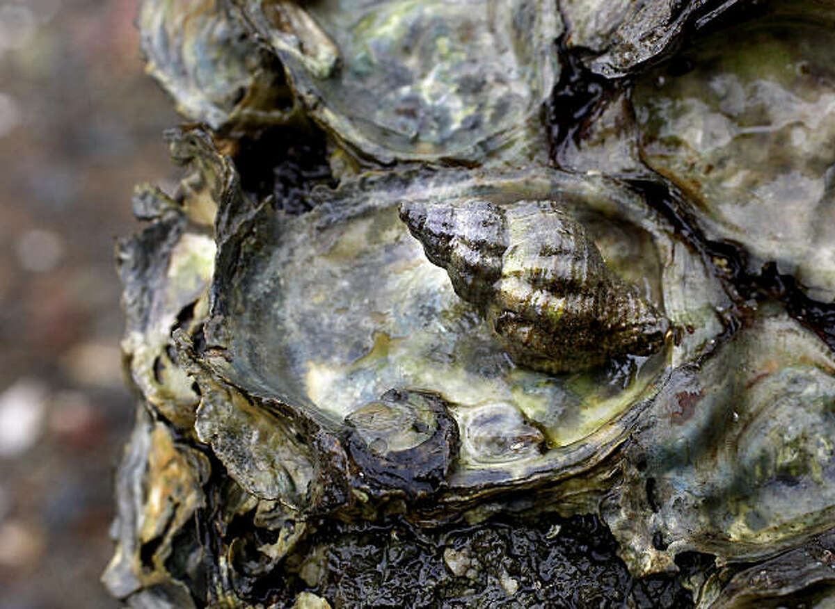 An Atlantic snail sits in the pocket of an oyster shell in an area just east of Marshall, CA. Invasive species are killing native Olympia oysters in Tomales Bay. A predatory whelk snail devastates oysters by boring into their shells and digesting the soft tissue inside.