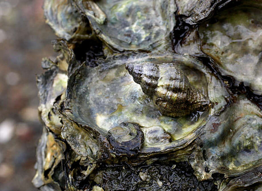 An Atlantic snail sits in the pocket of an oyster shell in an area just east of Marshall, CA. Invasive species are killing native Olympia oysters in Tomales Bay. A predatory whelk snail devastates oysters by boring into their shells and digesting the soft tissue inside. Photo: Brant Ward, The Chronicle