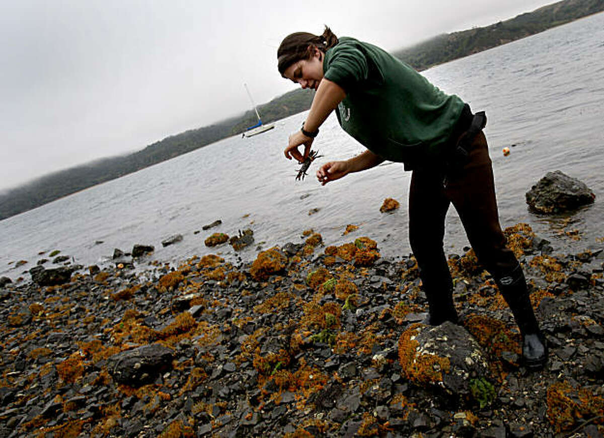 UC Davis Ecology graduate student Anna Deck finds a crab native to these waters as she does her oyster research. She is surrounded by a non-native sponge which has showed up on the shores. Invasive species are killing native Olympia oysters in Tomales Bay. A predatory whelk snail devastates oysters by boring into their shells and digesting the soft tissue inside.