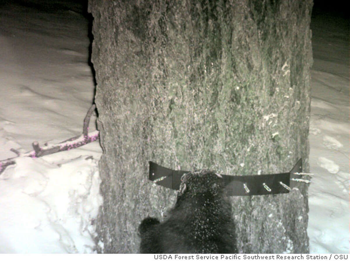 Top view of a wolverine photographed by a remotely triggered camera at a snare established by another study for the purpose of collecting hair from American martens. Photograph courtesy of the USDA Forest Service Pacific Southwest Research Station and Oregon State University