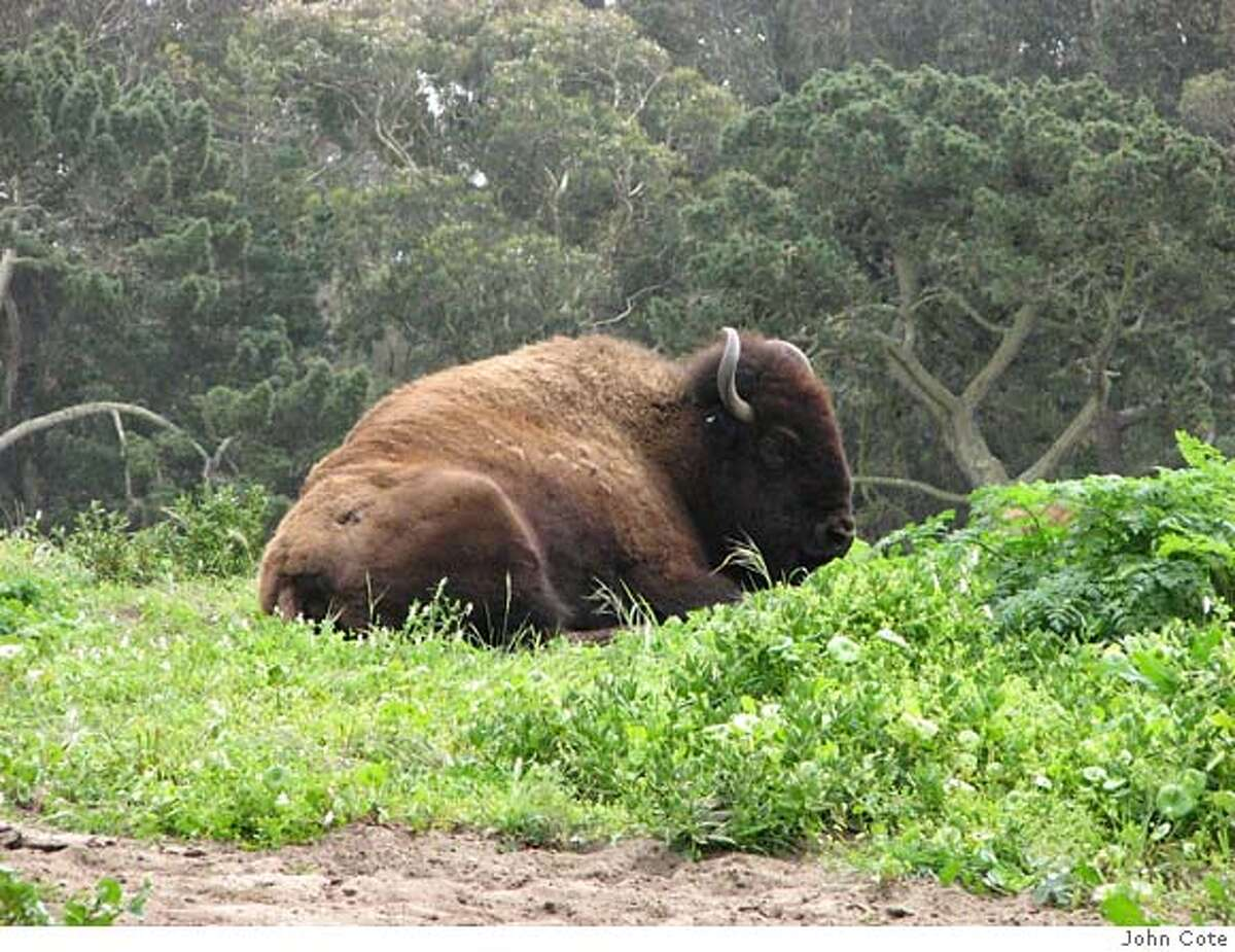 ###Live Caption:Bison in San Francisco's Golden Gate park have been hard to spot in recent months since they've been kept in their auxillary paddock while repairs and reseeding are being done on their main pasture. Visitors can still see the bison up close in their temporary home if they walk around the west end of the main enclosure to the north side, where the auxillary paddock is.###Caption History:Bison in San Francisco's Golden Gate park have been hard to spot in recent months since they've been kept in their auxillary paddock while repairs and reseeding are being done on their main pasture. Visitors can still see the bison up close in their temporary home if they walk around the west end of the main enclosure to the north side, where the auxillary paddock is.###Notes:###Special Instructions: