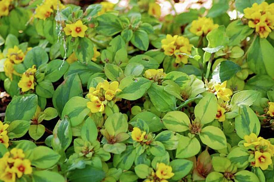 Lysimachia 'Walkabout Sunset' Photo: Erle Nickel, Special To The Chronicle