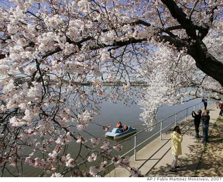 ###Live Caption:** ADVANCE FOR THURSDAY, MARCH 20 ** **FILE** Visitors take a stroll under the cherry blossoms along the Tidal Basin in Washington in this March 30, 2007 file photo. The National Park Service announced it's prediction on March 6, 2008, that most of the cherry trees circling the Tidal Basin will be in peak bloom when the National Cherry Blossom Festival begins on March 29 but thirty years ago, the trees usually waited to bloom until around April 5. (AP Photo/Pablo Martinez Monsivais, File)###Caption History:** ADVANCE FOR THURSDAY, MARCH 20 ** **FILE** Visitors take a stroll under the cherry blossoms along the Tidal Basin in Washington in this March 30, 2007 file photo. The National Park Service announced it's prediction on March 6, 2008, that most of the cherry trees circling the Tidal Basin will be in peak bloom when the National Cherry Blossom Festival begins on March 29 but thirty years ago, the trees usually waited to bloom until around April 5. (AP Photo/Pablo Martinez Monsivais, File)###Notes:###Special Instructions:A MARCH 30, 2007 FILE PHOTO. Photo: Pablo Martinez Monsivais