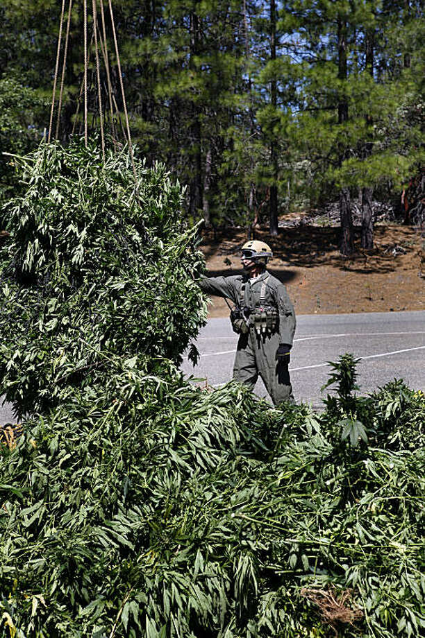 A members of the CAMPS team (Campaign Against Marijuana Planting) unloads the remains of a marijuana garden from the forest above Lake Shasta on Wednesday, July 8, 2009. Illegal pot farming on public lands is a problem throughout California, the growers clear-cut forests and cause environmental problems from garbagee, irrigation pipes, hazardous wastes and pesticides. Gardens sometimes contain as many as 30,000 plants. It is a major problem in Shasta and Lake counties, where forest pot farming has become a major scourge that state and federal drug enforcement agents are struggling to control. Photo: Carlos Avila Gonzalez, SFC