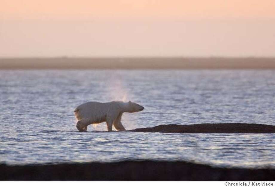 GLOBALWARM_ALASKA_3311_KW.jpg  On 9/13/05 in Kaktovik AK as the sun sets on Barter Island a mother Polar Bear shakes off water after swiming to shore to feed on the leftover carcasses of bowhead whales. For hundreds of years the bears have come during whale hunting season in a simbiotic relationship with the Inupiat Eskimos who are a subsistance hunting village.  Kat Wade/The Chronicle MANDATORY CREDIT FOR PHOTOG AND SF CHRONICLE/NO SALES-MAGS OUT Photo: Kat Wade