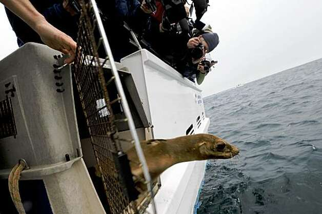 Fruitvale, the California sea lion rescued from I-880 in Oakland, is released near the Farallon Islands, 27 miles west of San Francisco. Saturday, July 18, 2009. (AP Photo/Russel A. Daniels) Photo: Russel A. Daniels, AP