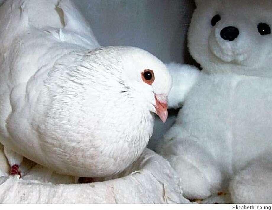 Frances the Pigeon Photo: Elizabeth Young