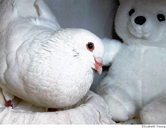 Once-terrified rescued pigeon impossibly cute - SFGate