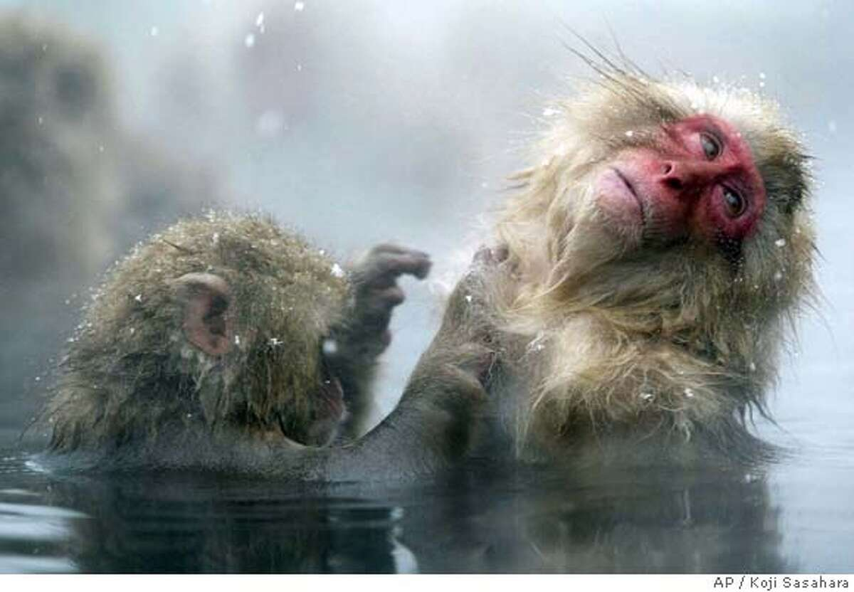 TRAVEL SNOW MONKEYS -- Japanese Macaque monkeys groom each other, sitting in a hot spring in the snow at Jigokudani Wild Monkey Park in Yamanouchi, Nagano prefecture, central Japan, Monday, Jan. 19, 2004. Some 250 monkeys in two groups, inhabit the nearby mountain and are fed in the park. The Chinese New Year falls on Jan. 22, and this year is the year of monkey. (AP Photo/Shuji Kajiyama)