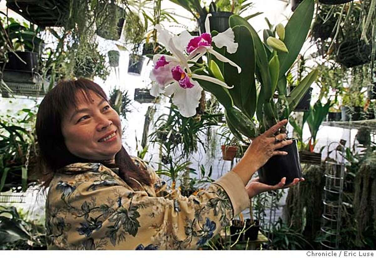 Angelic Nguyen's passion for growing Orchids in her backyard has become a sprawling business. She shows off a beautiful Slc. Hazel Boyd Photo by Eric Luse/ San Francisco Chronicle Ran on: 02-23-2008 Photo caption Dummy text goeses here.