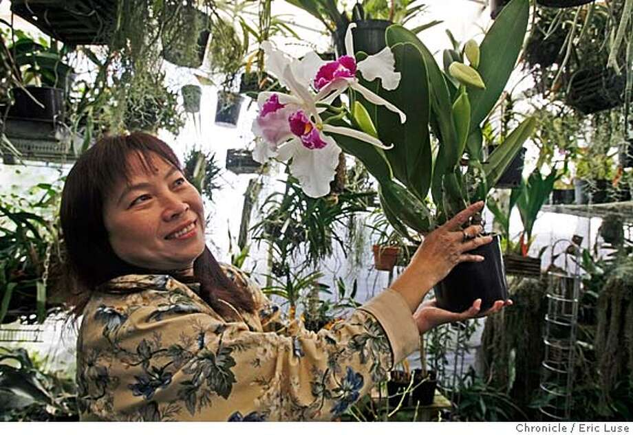Angelic Nguyen's passion for growing Orchids in her backyard has become a sprawling business.  She shows off a beautiful Slc. Hazel Boyd Photo by Eric Luse/ San Francisco Chronicle Ran on: 02-23-2008  Photo caption Dummy text goeses here. Photo: Eric Luse