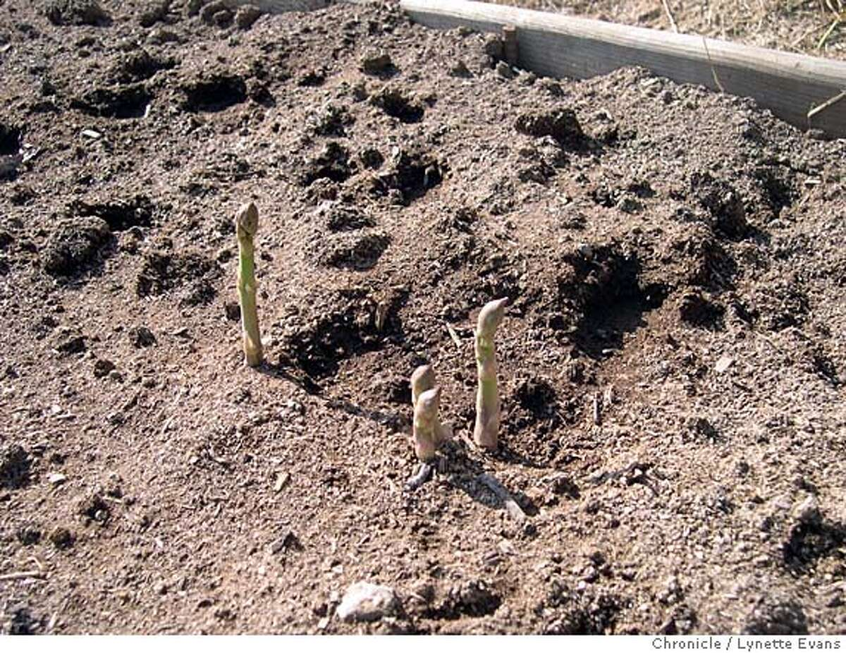 Caption: Asparagus shoots breaking through the soil in early spring. Online rights OK. Ran on: 02-23-2008 Asparagus shoots sprout from crowns and break through the soil in spring. A plant can produce spears for 25 years.