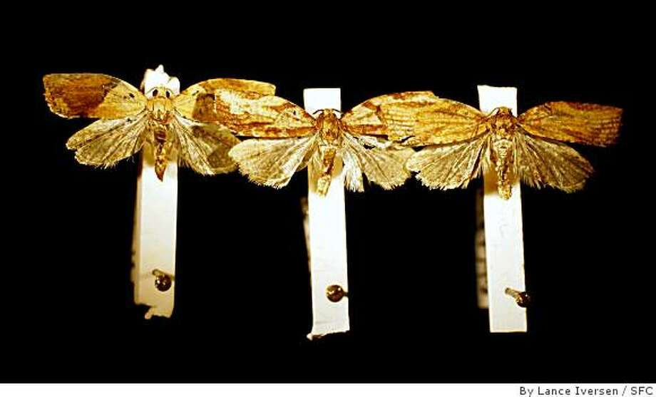 Marc Epstein Senior Insect Biosystematist-Specialist for the State of California Department of Food and Agriculture displays Light Brown Apple Moths trapped recently in Northern California that very in color with variations in wing patterns at the State lab in Sacramento. (MAY 31) (cq, SUBJECT) Lance Iversen / The Chronicle Photo taken on 5/31/07,SACRAMENTO, CA. Photo: By Lance Iversen, SFC