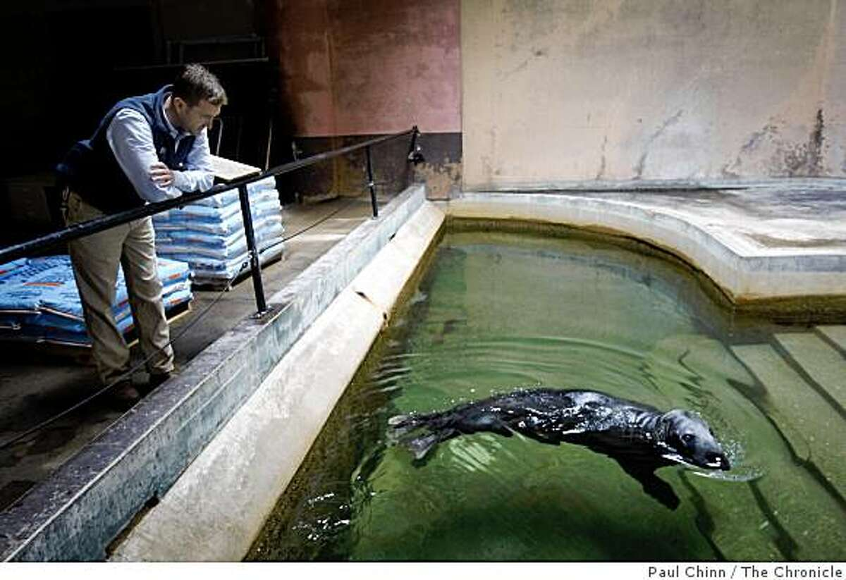 Curator of birds Harrison Edell watches Orkney the gray seal swim inside the Pachyderm House, which is closed to the public, at the San Francisco Zoo in San Francisco, Calif., on Wednesday, June 10, 2009. Orkney who is over 40-years-old and arrived when he was just a year old, is among the oldest residents of the zoo, which is celebrating its 80th anniversary this year.