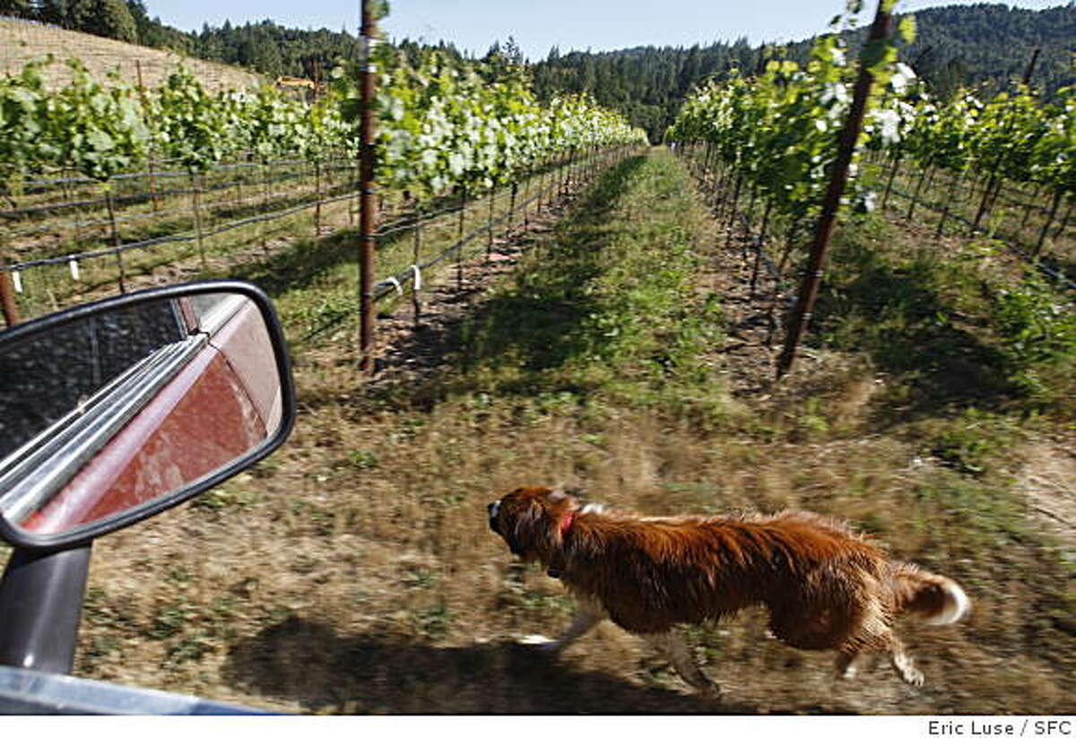 Stuart Bewley's dog Rusty would rather run than ride at Alder Springs Vineyard in Northern Mendocino County photographed on Monday, June 8, 2009.