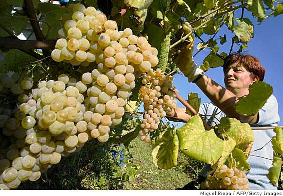 O ROSAL, SPAIN:  A woman looks at grapes 16 October 2003 at a vineyard producing Rias Baixas wine in O Rosal, Galicia Region, NW Spain, a site of a three- year research program involving cloning albarino grapes.  AFP Photo Miguel RIOPA  (Photo credit should read MIGUEL RIOPA/AFP/Getty Images) Photo: Miguel Riopa, AFP/Getty Images