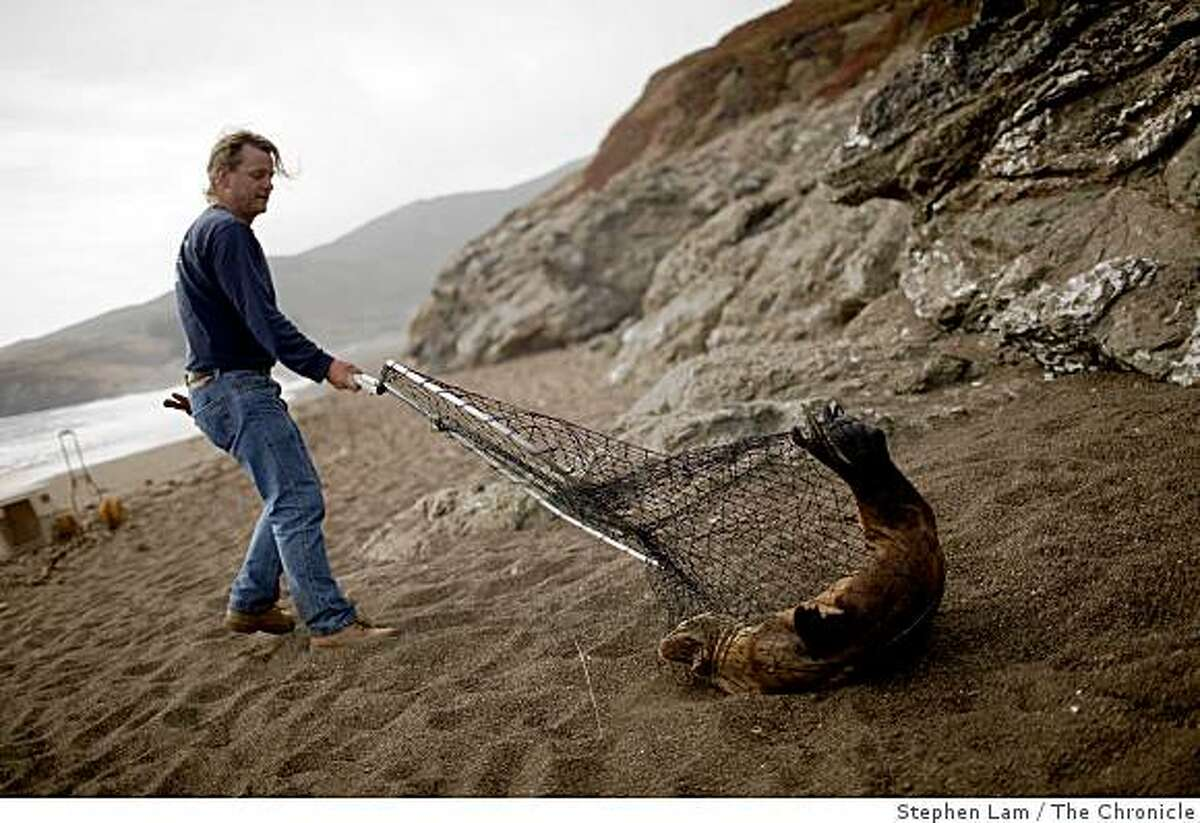 """Lincoln Shaw, a volunteer stranding rescue crew member with The Marin Mammal Center, catches a stranded California sea lion at North Rodeo in Sausalito, Calif. on Tuesday, June 16, 2009. """"Every time we see them by themselves, we know there's a problem,"""" says Shaw, who has been a volunteer at the center for five years. More sea lion has been turning up skinny and ill on beaches along the coast in recent times and scientist are in the process of trying to figure out how ocean conditions are affecting the food chain of young mammals."""