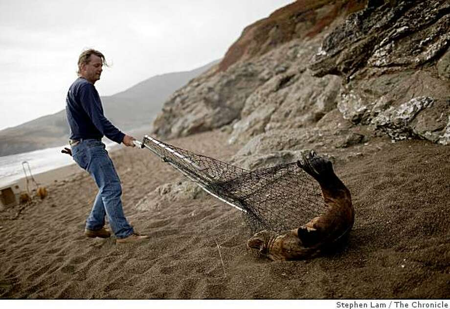"Lincoln Shaw, a volunteer stranding rescue crew member with The Marin Mammal Center,  catches a stranded California sea lion at North Rodeo in Sausalito, Calif. on Tuesday, June 16, 2009. ""Every time we see them by themselves, we know there's a problem,"" says Shaw, who has been a volunteer at the center for five years. More sea lion has been turning up skinny and ill on beaches along the coast in recent times and scientist are in the process of trying to figure out how ocean conditions are affecting the food chain of young mammals. Photo: Stephen Lam, The Chronicle"