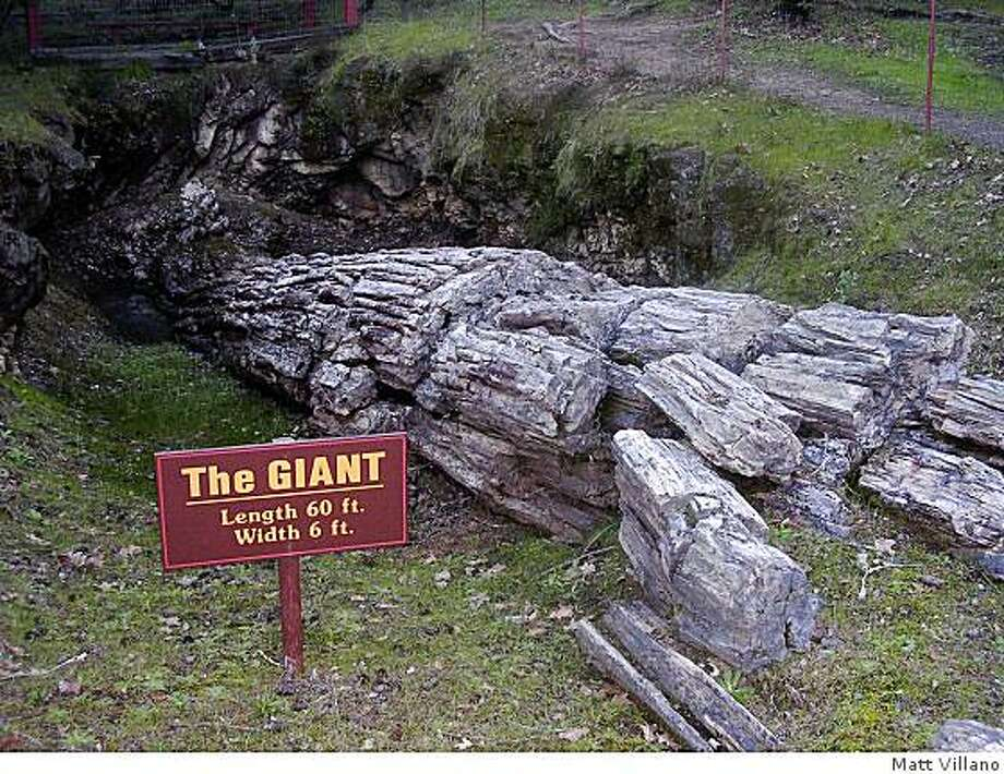 The Giant, a tree at the Petrified Forest near Calistoga. Photo: Matt Villano, Special To The Chronicle