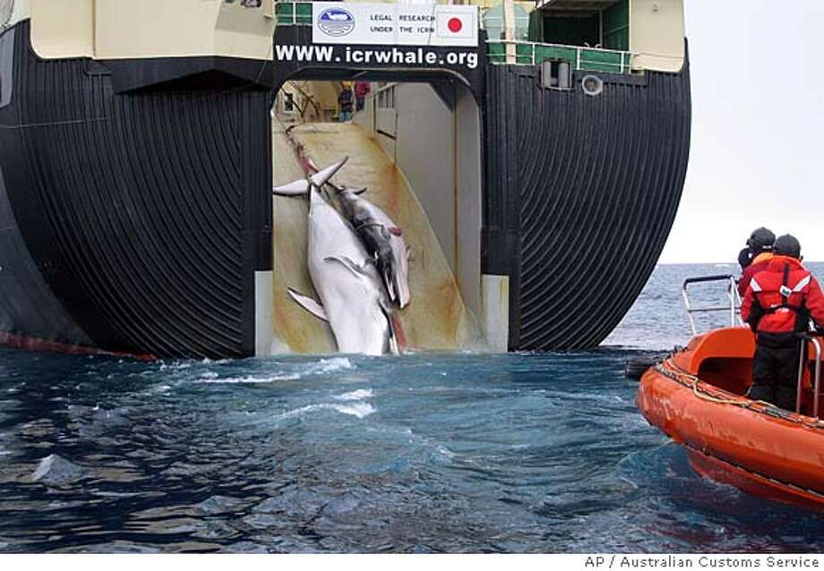 This undated handout photo released by the Australian Customs Service, shows what the Australian government says is the slain carcasses of a minke whale and her calf hauled aboard the Japanese harpoon ship Yushin Maru 2 in the Antarctic waters. The Australian government stepped up its public relations campaign against Japanese whaling in Antarctic waters Thursday, Feb. 7, 2008 by releasing images of the whale killings to Australian media organisations. (AP Photo/Australian Customs Service, HO) ** NO SALES, EDITORIAL USE ONLY **
