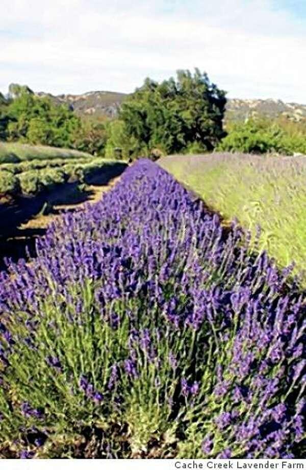 Cache Creek Lavender Farm Photo: Courtesy Charles Opper, Cache Creek Lavender Farm
